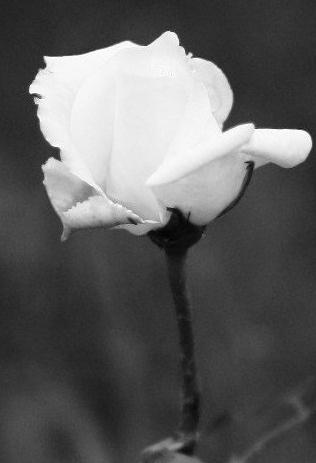 La bellezza in una rosa